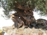 Miniature olive tree for crib