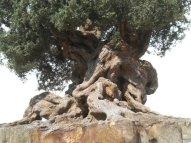 albero di ulivo adatto al presepe
