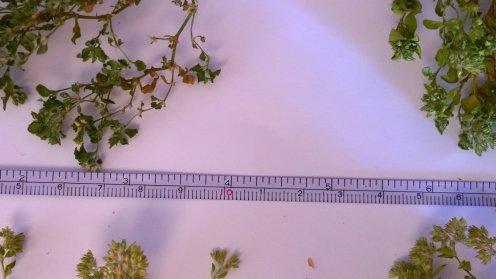 rampicante micro foglie