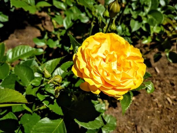 Appreciating roses at Royal Botanical Gardens