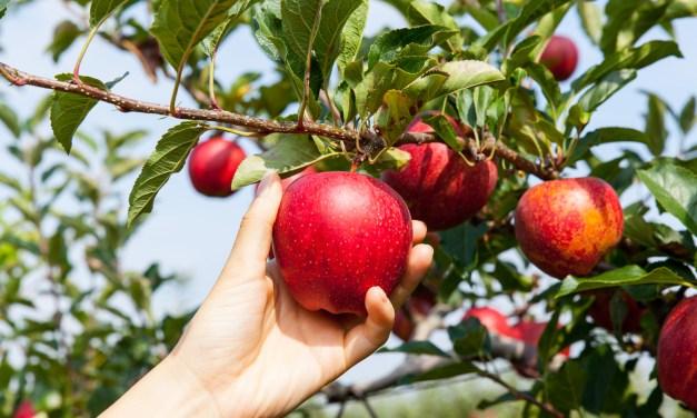 Tips & Tricks for Apple Picking