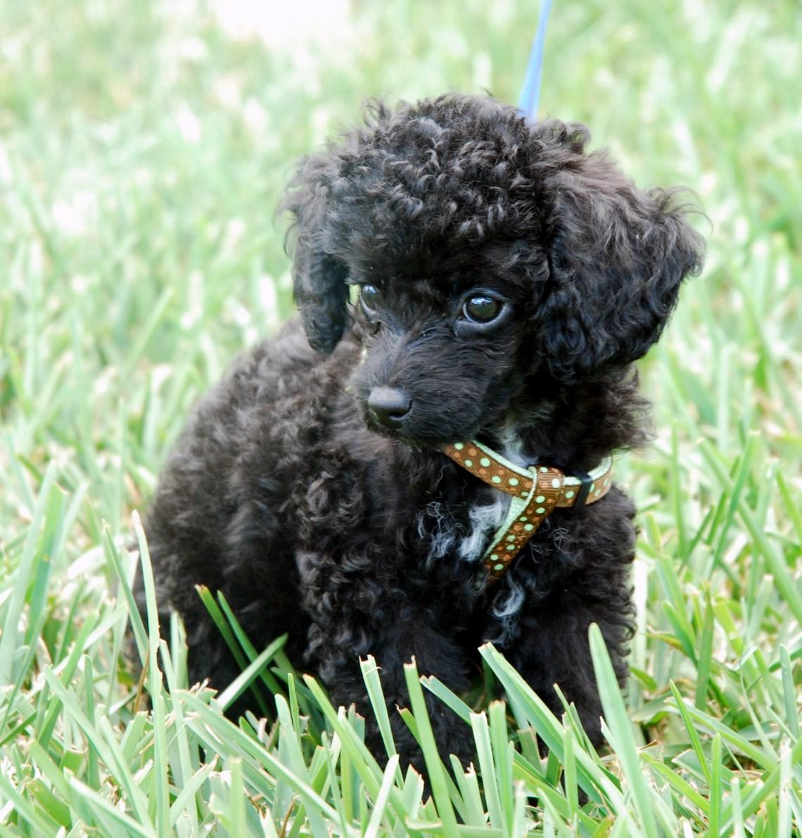 toy poodle Miniature Poodles For Adoption