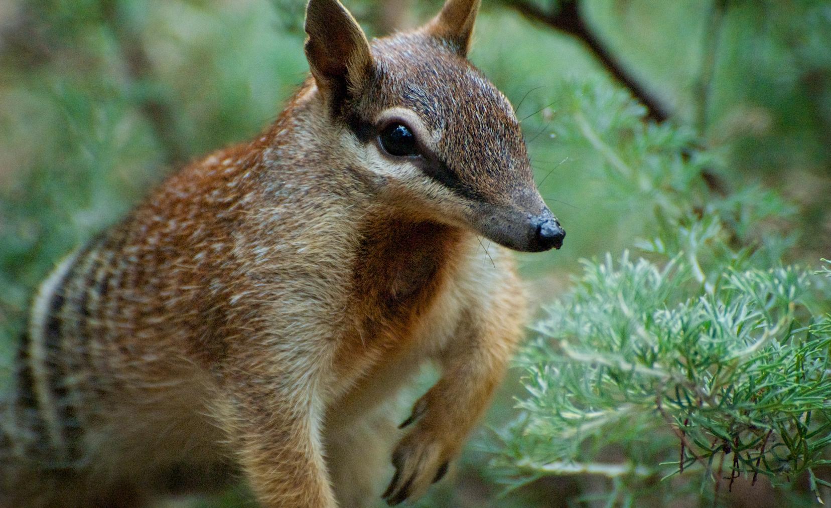 Numbat aka banded anteater (dilettantiquity via flickr.com)