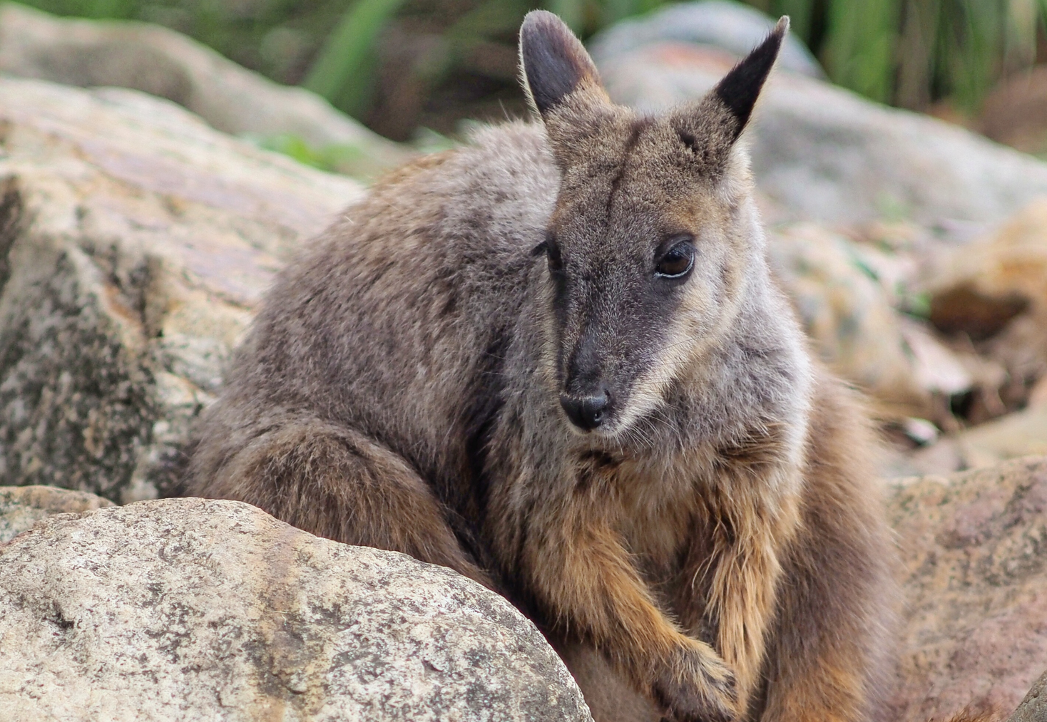 Brush tailed rock wallaby (Jesper Örtlund)