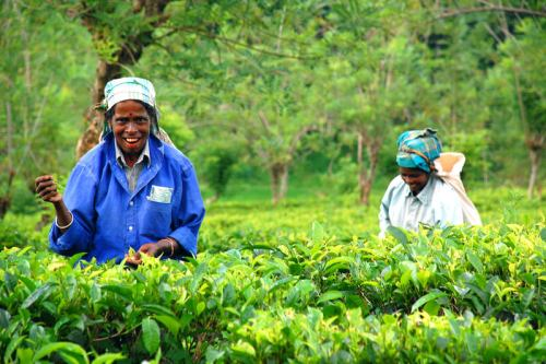 Two Tea Pickers