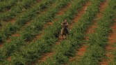 Barzaghi inspects his vineyards