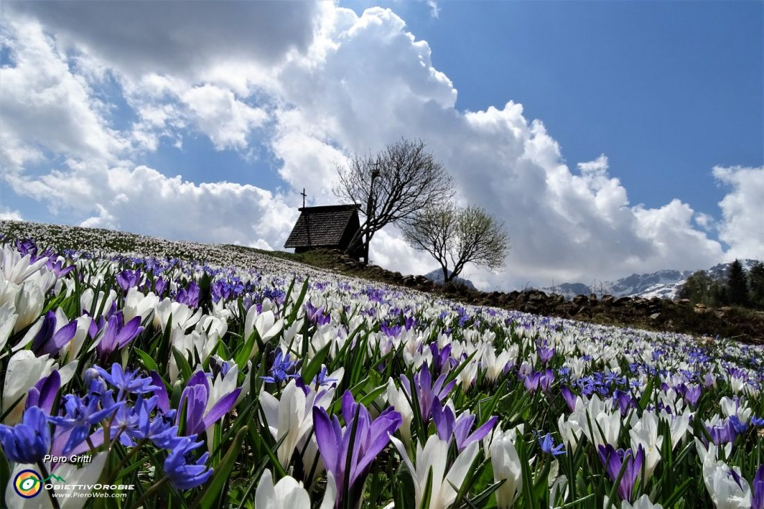 oloratissima distesa fiorita sui prati della Pigolotta