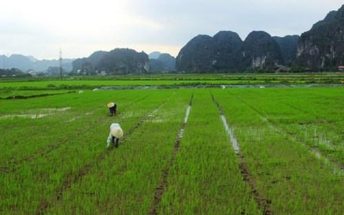 Risaie in Cina. (Credits: barnabasvormwald su Pixabay; rielaborazione: AmbraHelo)