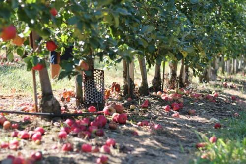 La ticchiolatura del melo è una malattia molto diffusa nei meleti ed è causata da un fungo