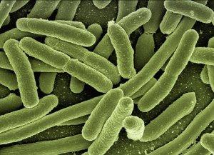 E. coli e il microbiota intestinale