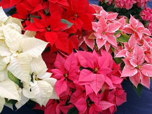 Tra le piante natalizie la stella di Natale è la più famosa