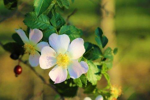La rosa canina è una varietà antica e fa parte della storia delle rose