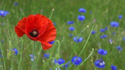 il papavero comune è capace di formare campi pieni di mille papaveri rossi
