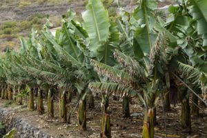 Le monocolture espongono le piante di banana a numerose malattie che le portano in via di estinzione.