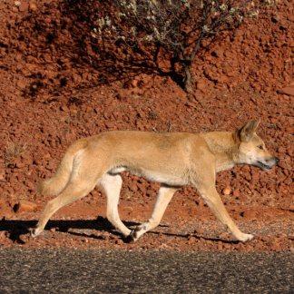 Wild Dog / Dingo