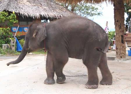 elephant-phuket
