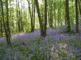 Bluebells in Linacre Wood