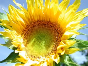 sunflower-671589_960_720