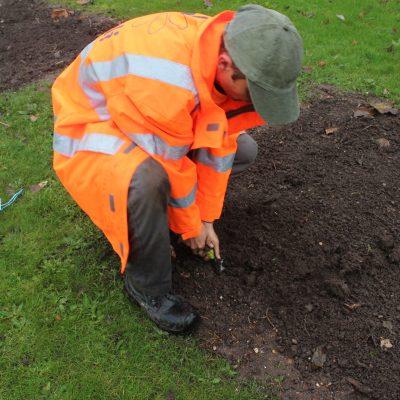 Planting Mayflower Daffodil bulbs