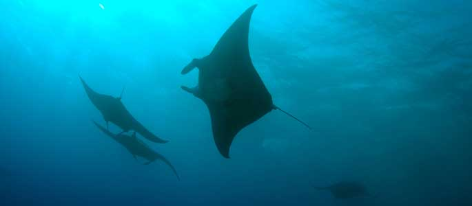 Manta Ray Snorkel Which Tour Review