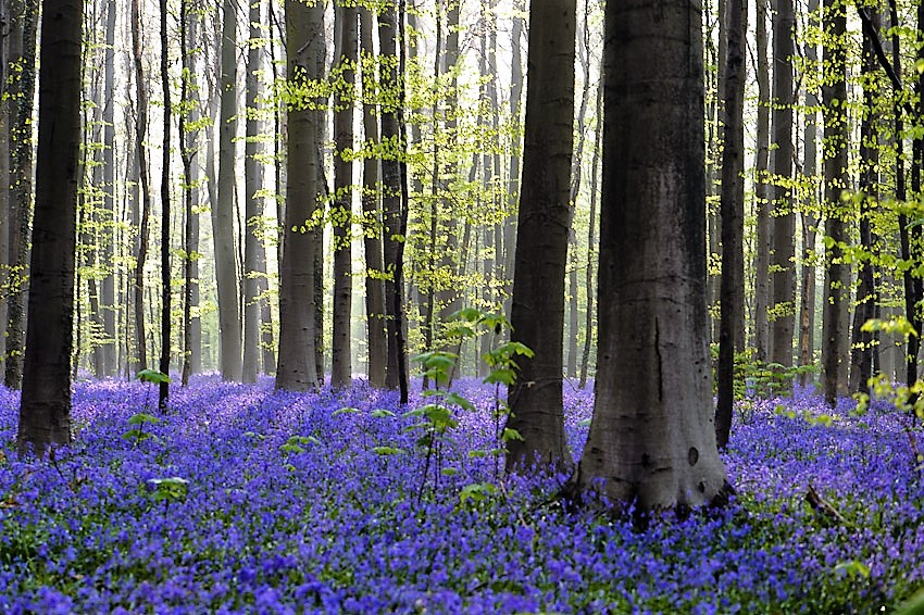 The beautiful blue forest of Hallerbos thanks to its bluebells
