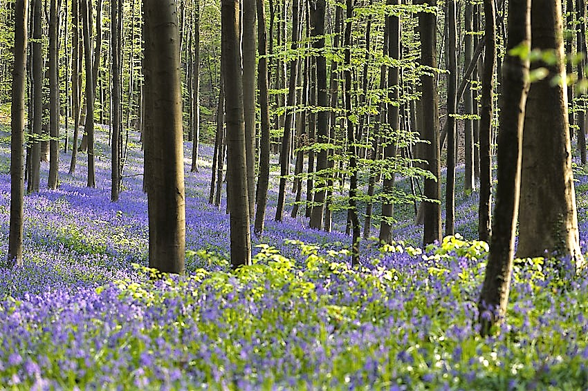 Hallerbos Belgium is famed worldwide for its display of bluebells
