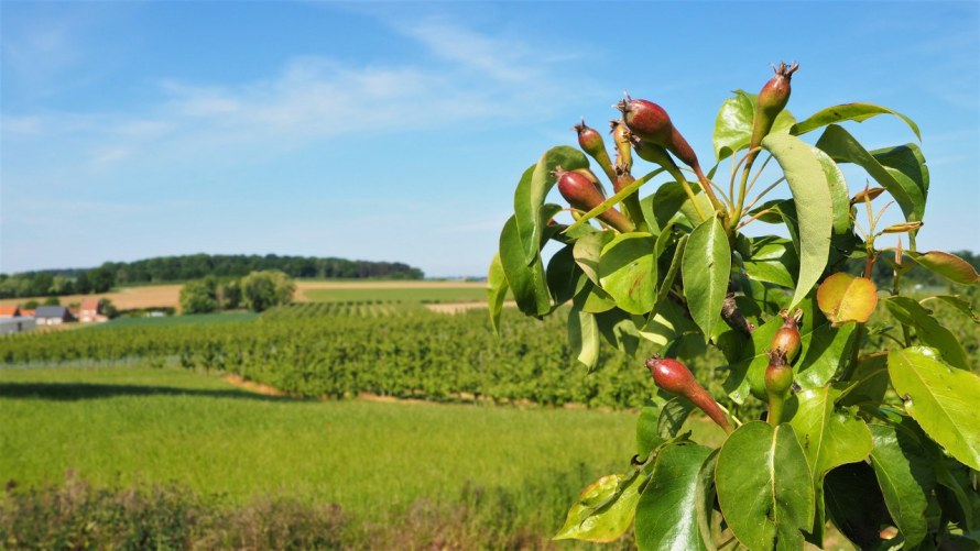 Walk from Diest to Loksbergen through the orchards of the Haspengouw