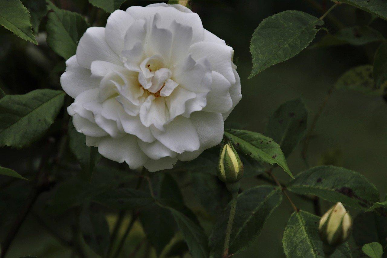 white rose in Belgium
