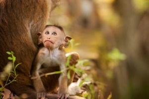 DisneyNature Monkey Kingdom