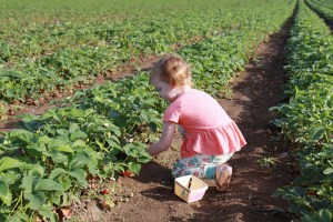 Krause Berry Farms: Who loves strawberries and raspberries?