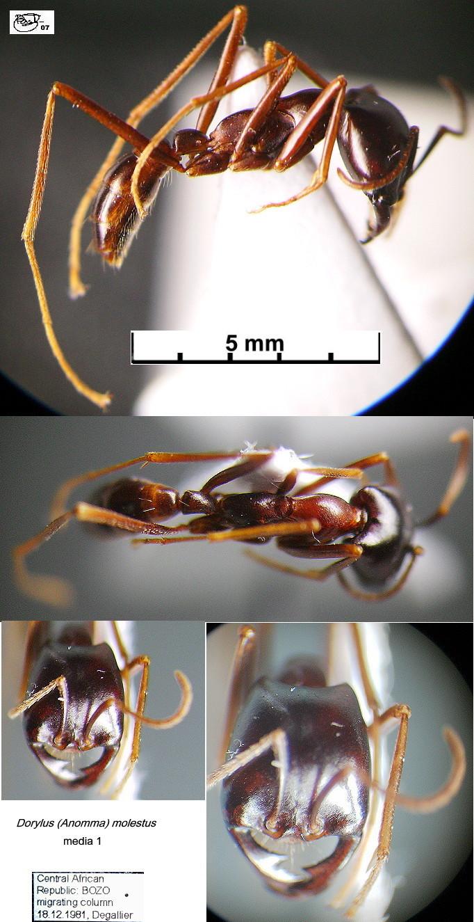 {Dorylus molestus media 1}