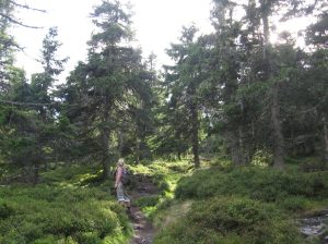 Spruce trees and blueberry bushes. Jeseniky mountains Czech Republic
