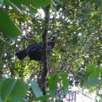 A rare pawi bird at Asa Wright, Trinidad. Photo: Harold Diaz