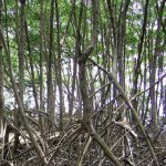 Mangrove. Photographer: Dawn Glashier