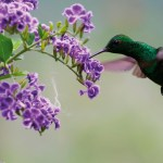 Copper rumped Hummingbird. Courtesy Theo Ferguson of Yerette
