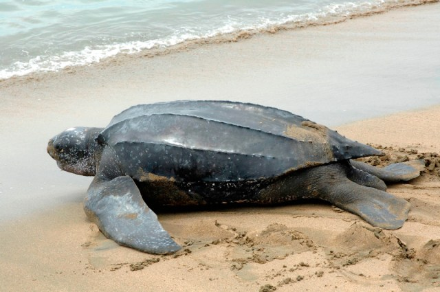 Leatherback turtle returning to sea. Courtesy The Division of Tourism and Transportation