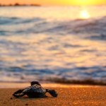 A baby leatherback turtle makes its way to the sea. Photo by Giancarlo Lalsingh