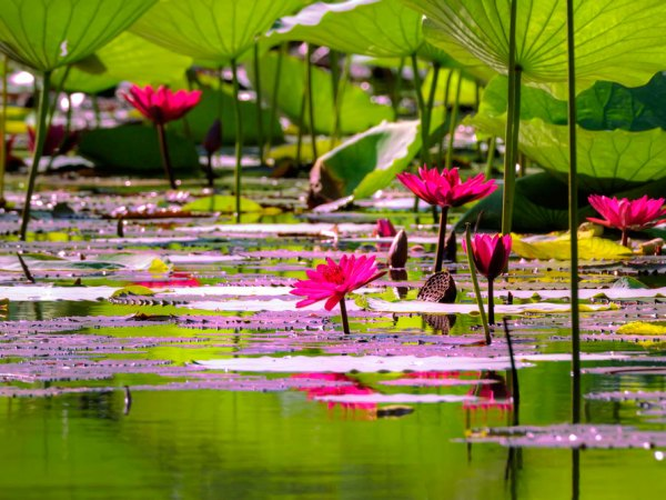 Water lillies at Tobago Plantations. Photo by Chris Anderson