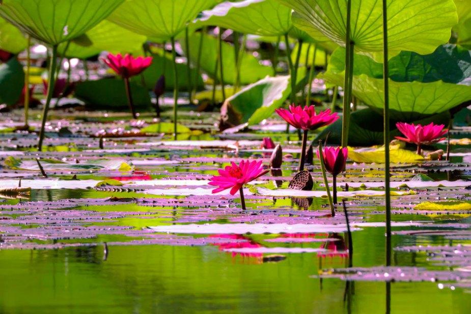 Water lillies at Tobago Plantations. Photo by Chris Anderson