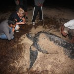 A leatherback turtle nesting in Trinidad, and being examined by a turtle conservation volunteer. Photo by Stephen Broadbridge