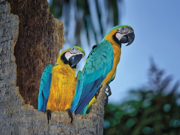 Blue and yellow macaws were successfully re-introduced to Trinidad in the early 2000s after being extirpated by habitat loss and the pet trade. Photo by Chris Anderson