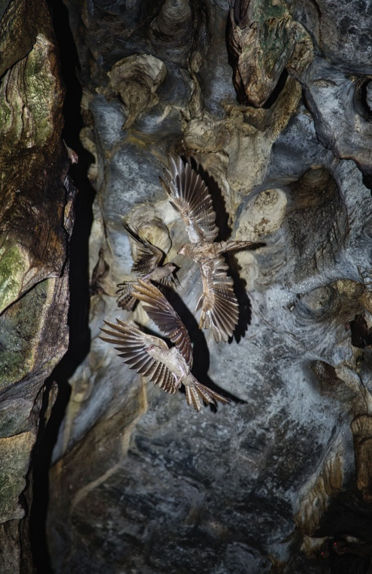 The rare oilbird is the only nocturnal, fruit-eating bird in the world. Asa Wright has the country's most accessible colony of them, while Cumaca (pictured), has the largest. Photo by Chris Anderson