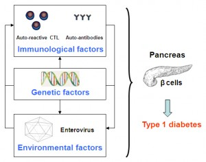 Figure 1. Types 1 diabetes and environmental factors. Type 1 diabetes is the result of interactions between immunological, genetic, and environmental factors, especially viruses mainly represented by enteroviruses.