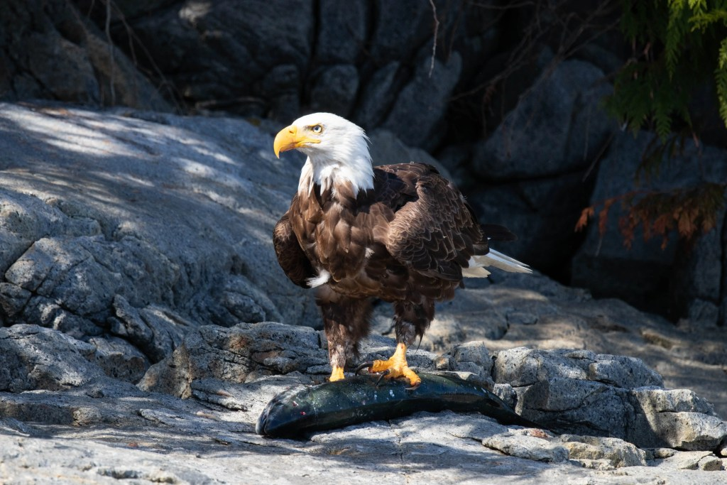 Bald Eagle fishing for salmon, Discovery West Adventures, Eco Tours, Whale Watching Campbell River, BC, Brown's Bay Resort