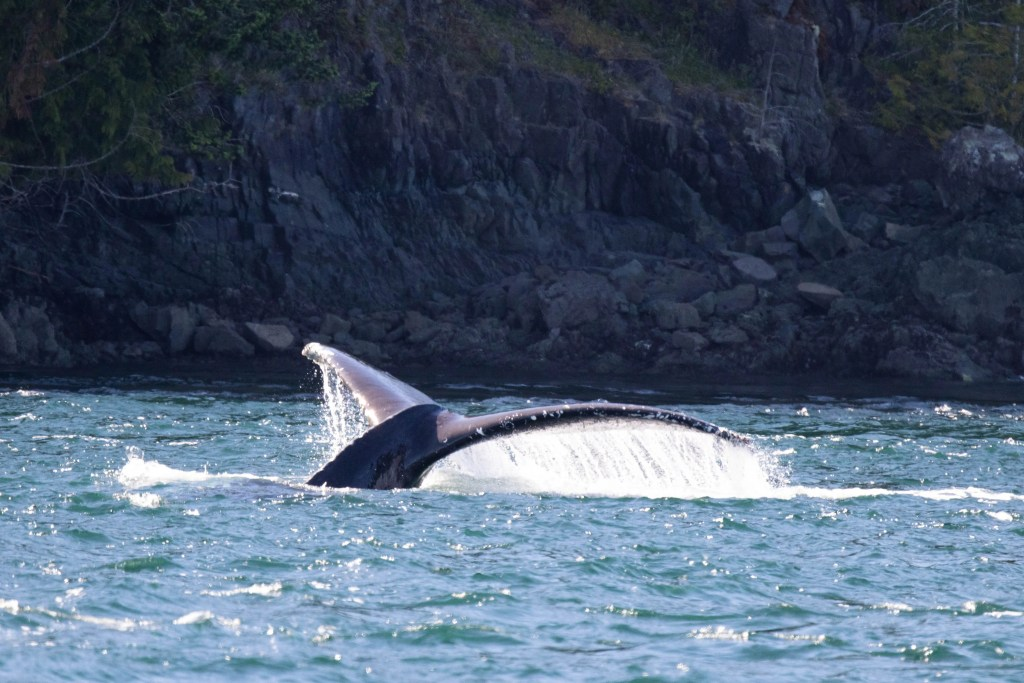 Discovery West Adventures, Humpback Whale, fluke, Whale Watching Campbell River, BC, Brown's Bay Resort