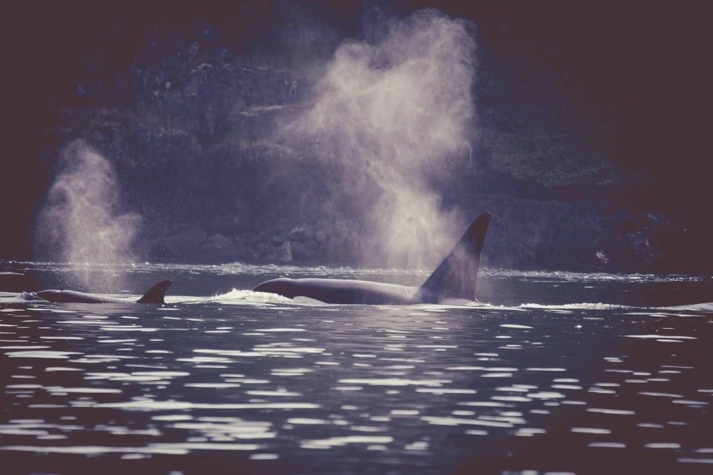 Discovery West Adventures, Whale Watching Campbell River, BC, Brown's Bay Resort, Orca, Killer Whale, Pacific, West Coast