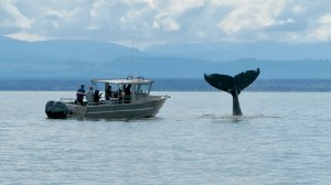 Humpback close encounter during our whale watching tour, Campbell River