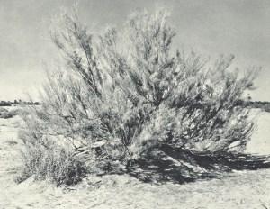 Arbusto di tamerici usato per tentare di fermare l'avanzata del deserto.