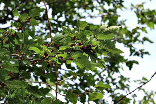 Mulberry tree photos