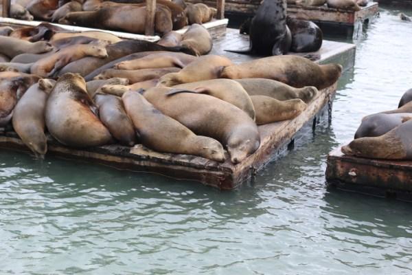 sea lions K Dock Pier 39